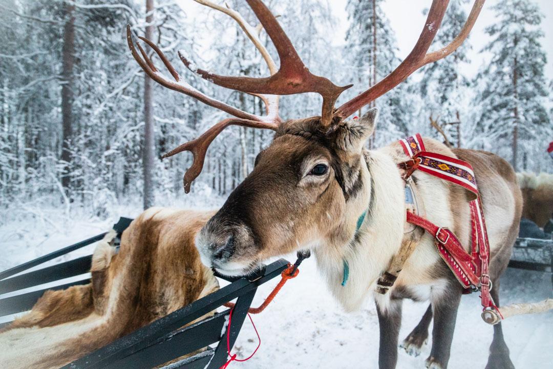 Rovaniemi excursión renos Papa Noel