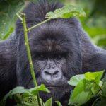 Congo. Gorilas salvajes y lava