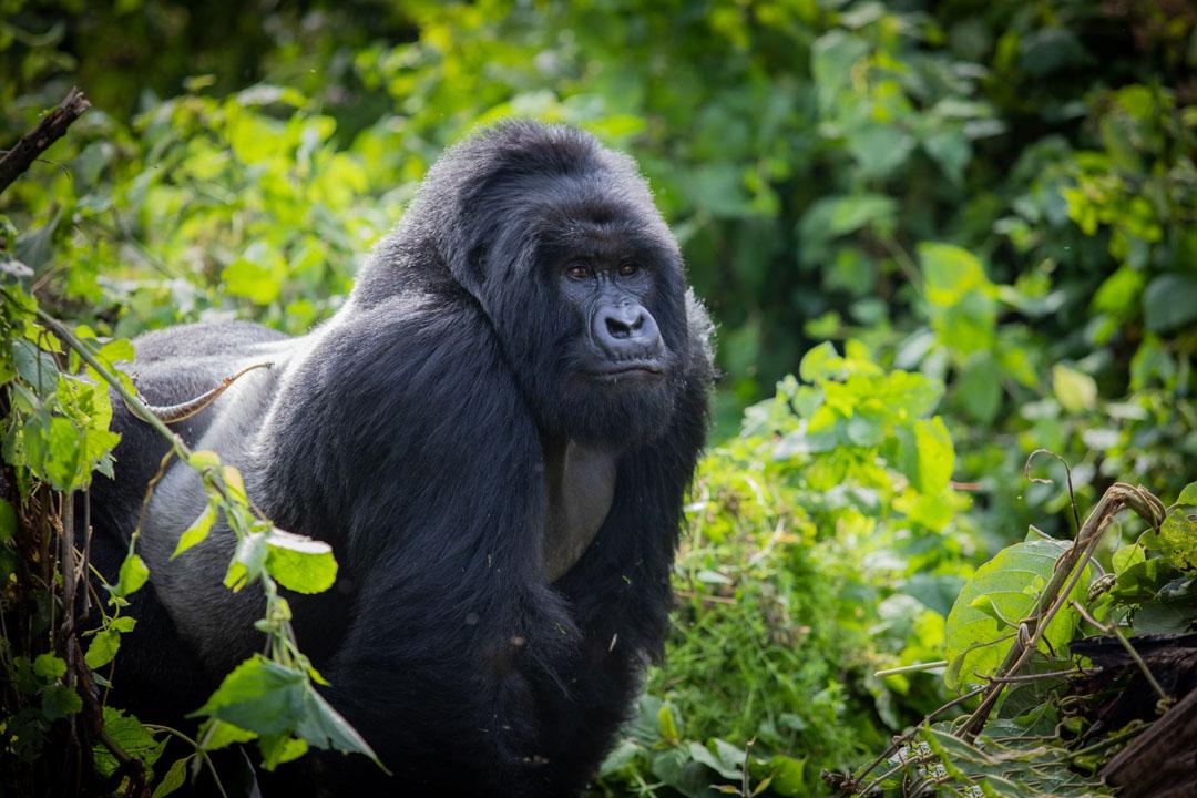 Congo gorilas