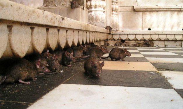 El Rajastán: Un templo conquistado por las ratas y una ciudad de oro