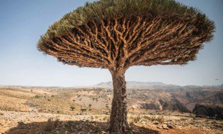 Socotra, un paraíso donde sangran los árboles